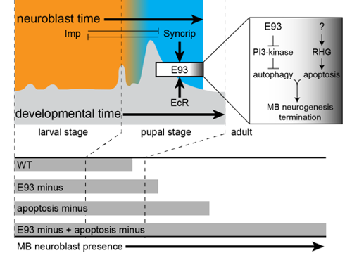 Imp, Syp and E93 regulate timing of neurogenesis